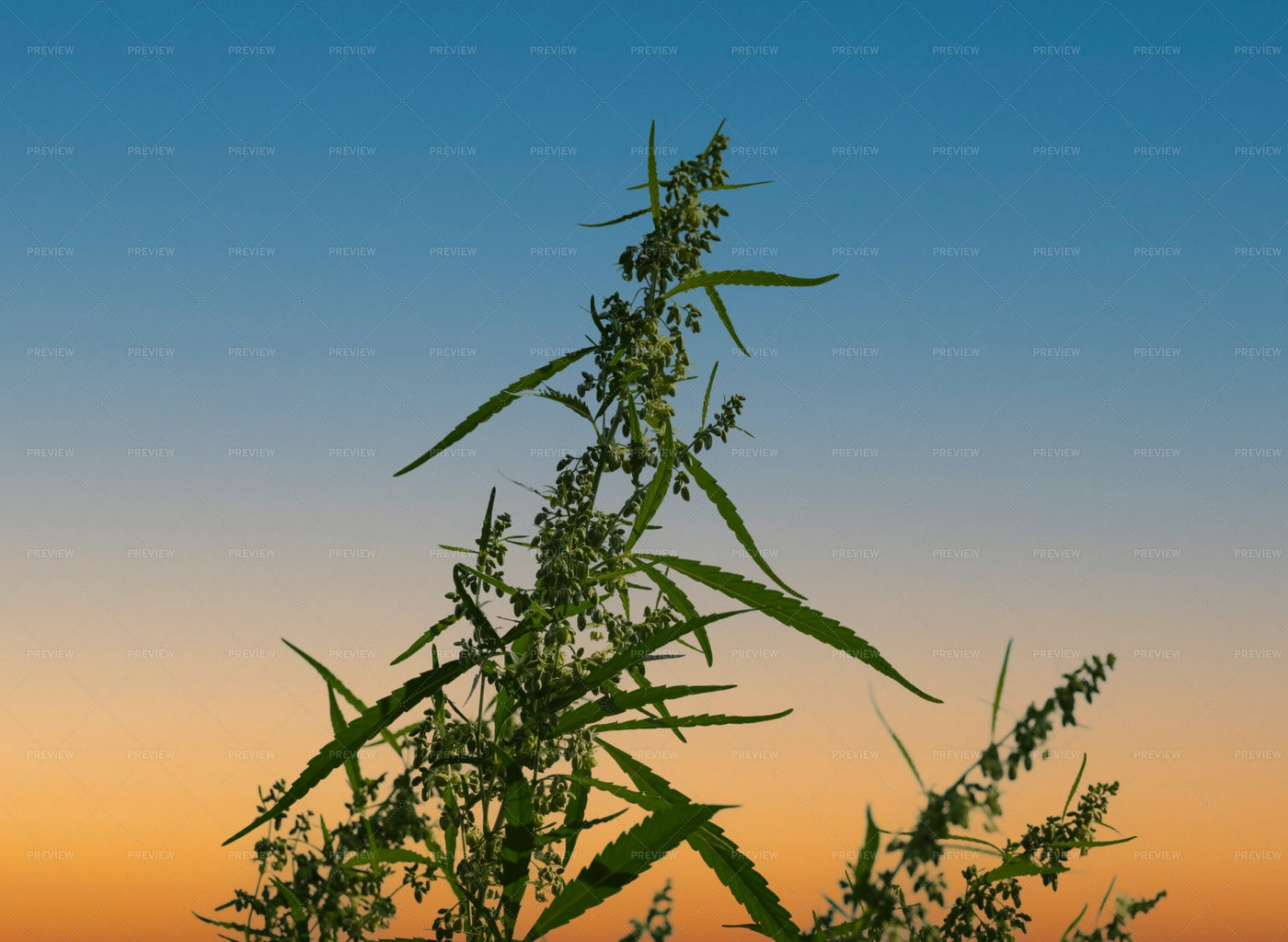 Fresh Green Cannabis Flowers: Stock Photos