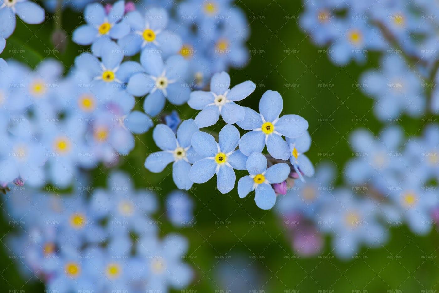 Blue Flowers: Stock Photos