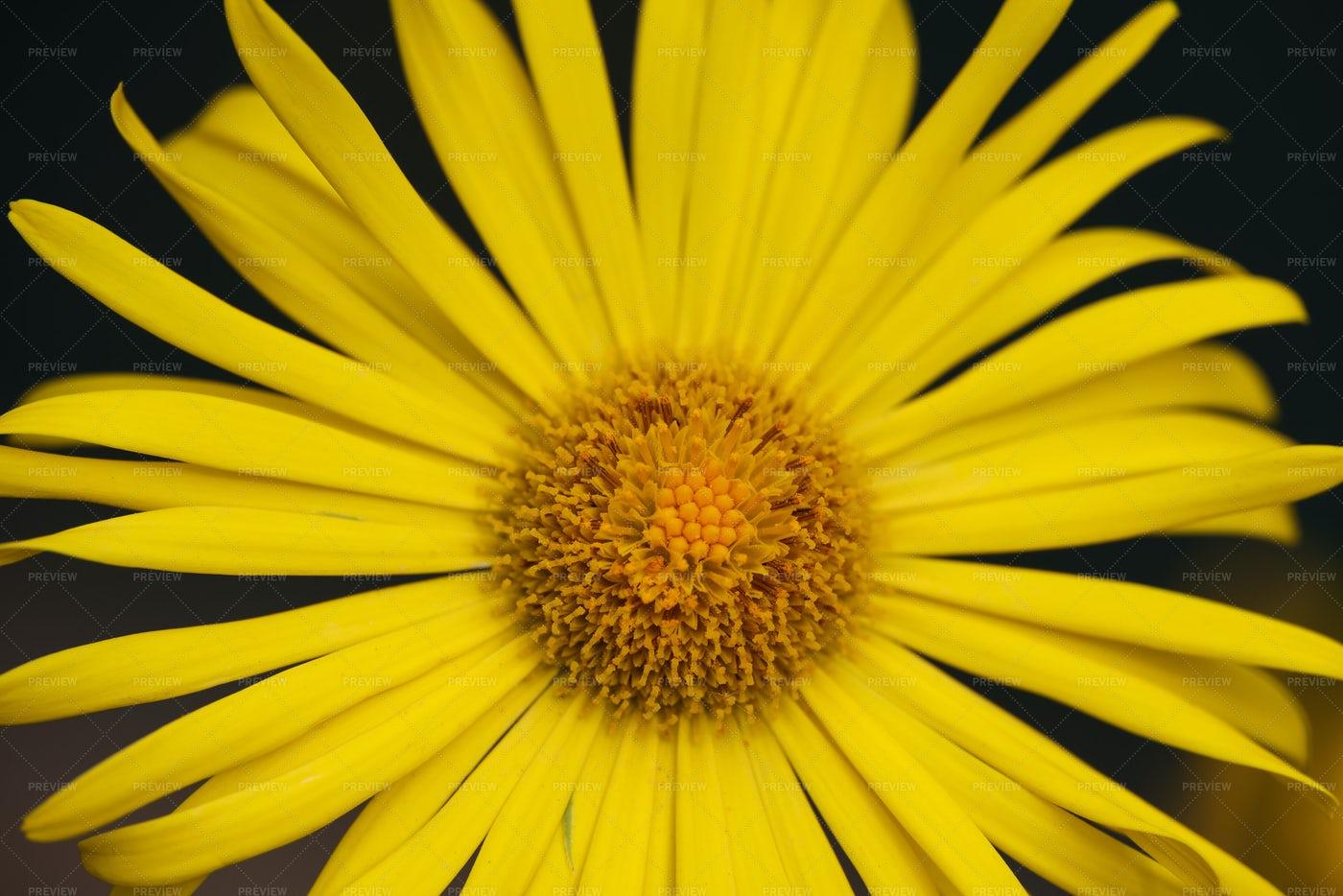 Yellow Doronicum Flower Head: Stock Photos