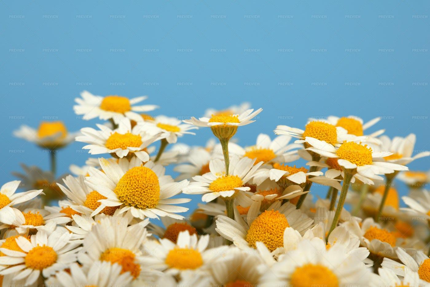 Chamomile Flowers On Blue: Stock Photos