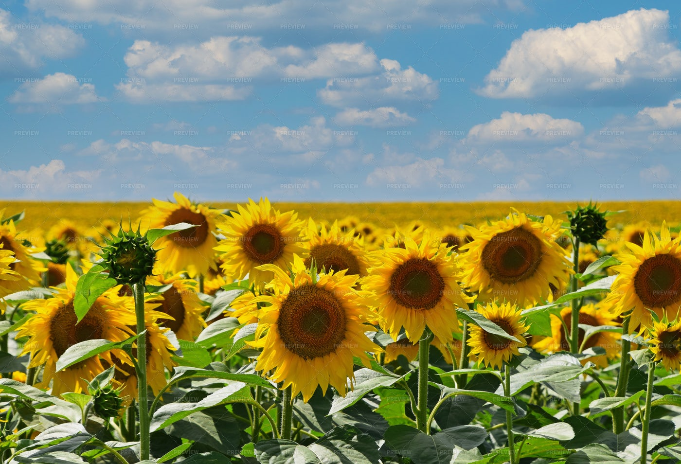 Field Of Yellow Sunflowers: Stock Photos