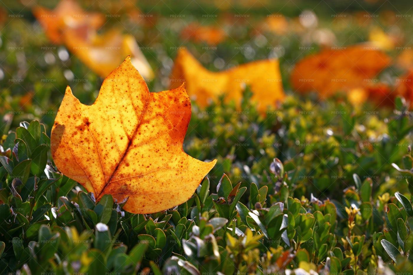 Autumn Tulip Tree Leaf: Stock Photos