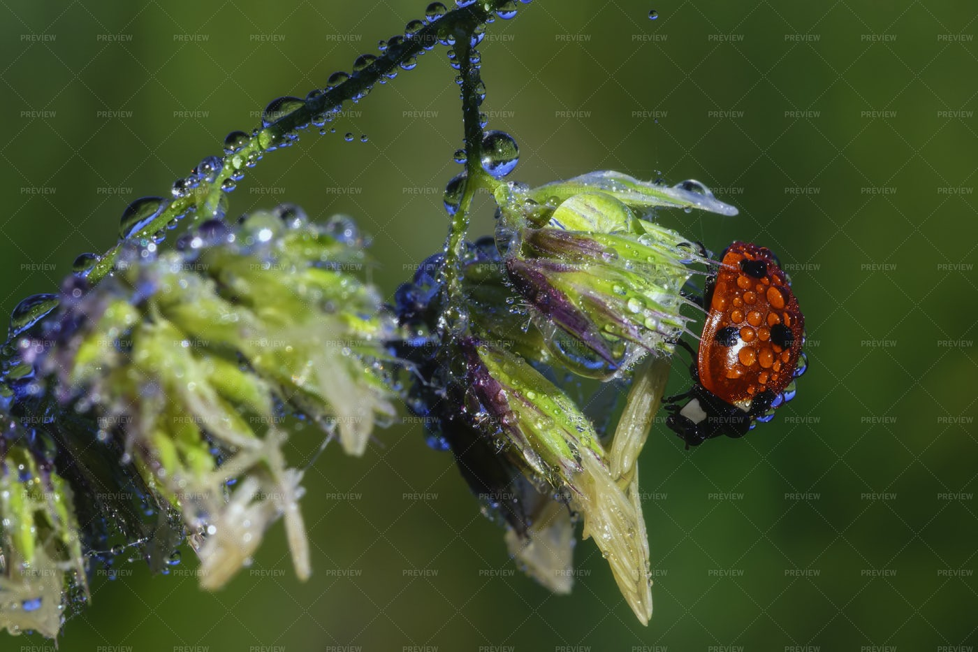 Ladybird On A Stem: Stock Photos