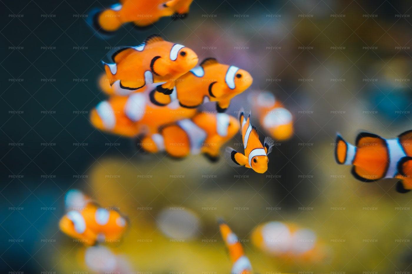 Clownfish: Stock Photos