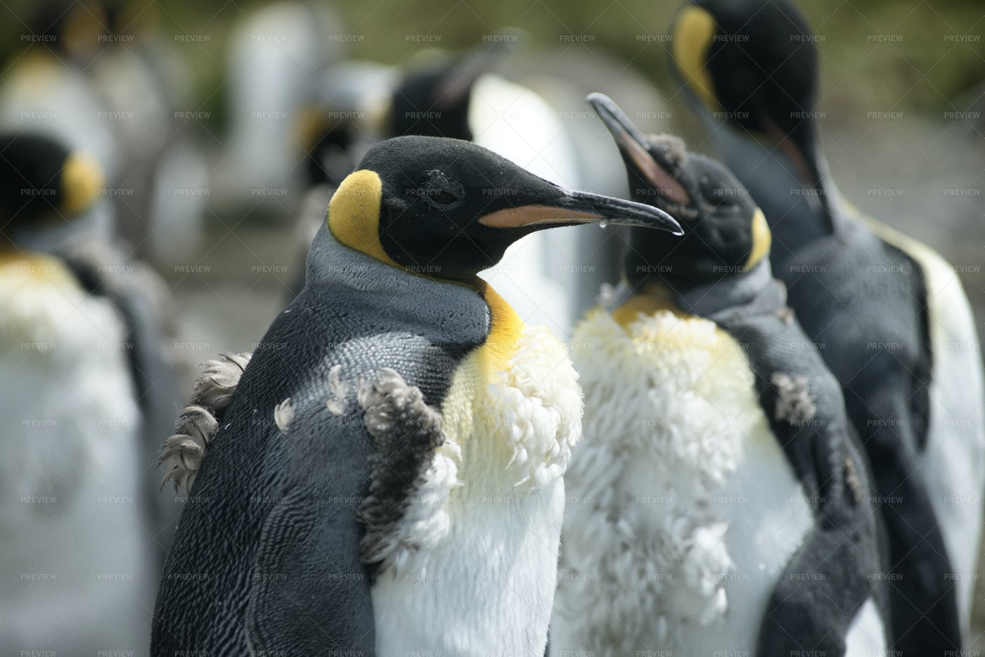 Chick King Penguins: Stock Photos