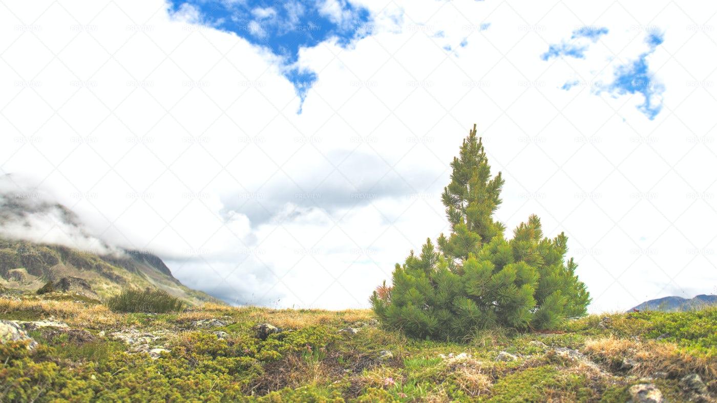 Small High Mountain Pine: Stock Photos