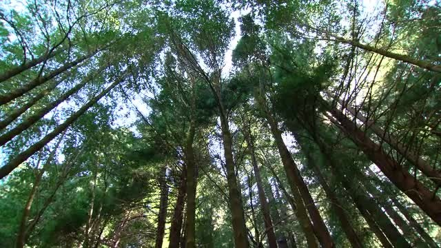 Low-angle Shot Of Tall Trees: Stock Video