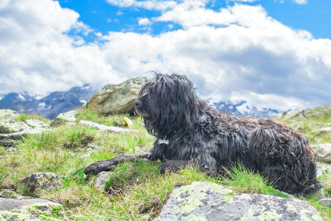 Sheepdog In The Mountains: Stock Photos