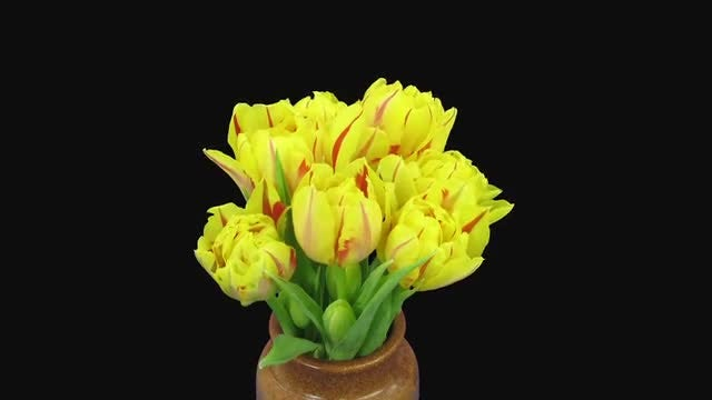Yellow-Red Tulips In Vase: Stock Video