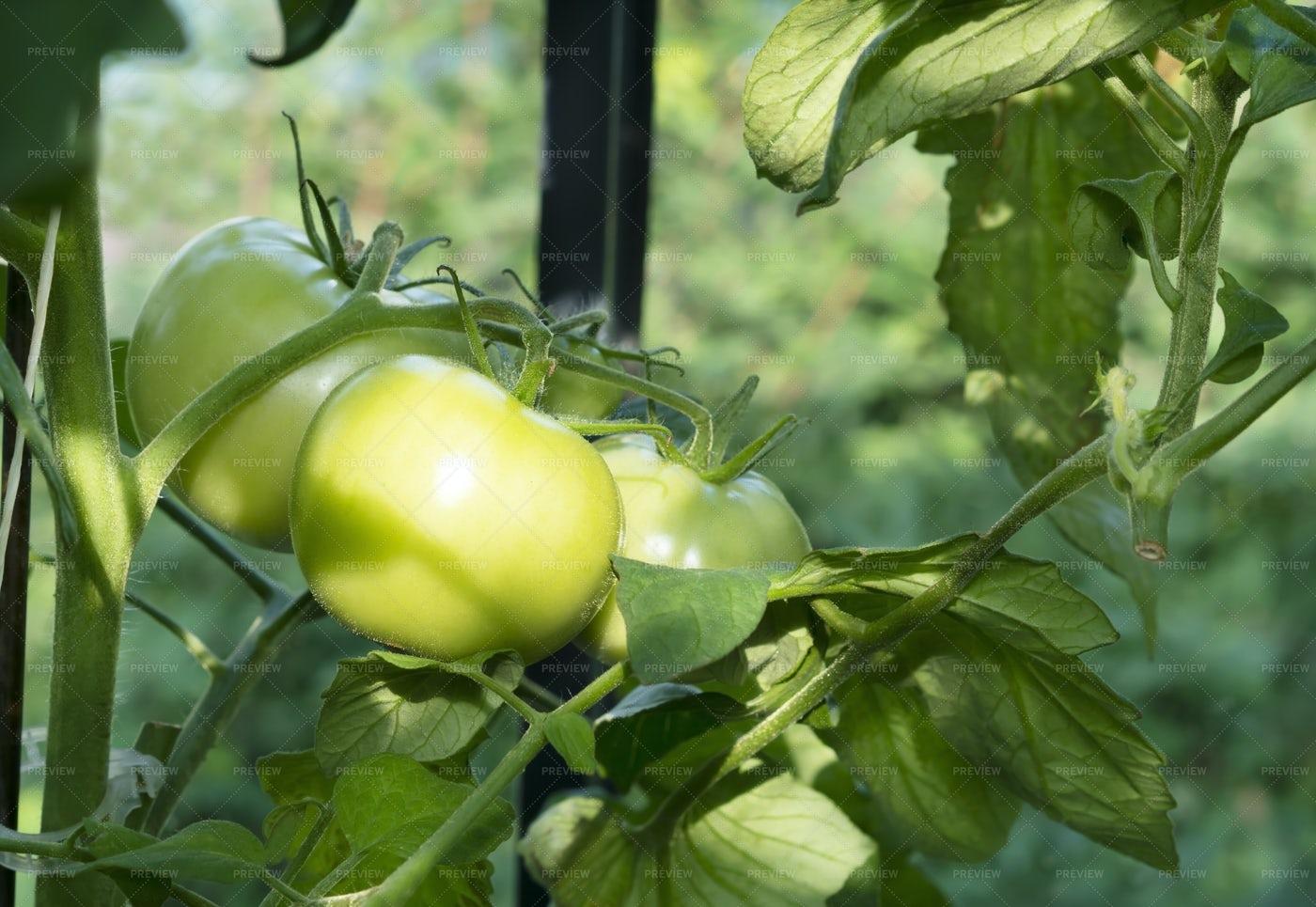 Growing Green Tomato Variety: Stock Photos