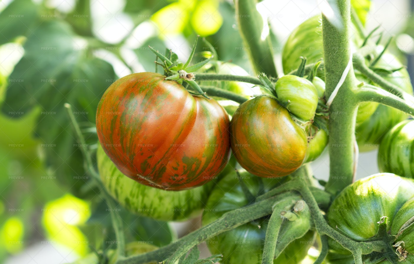 Growing Red Striped Tomatoes: Stock Photos