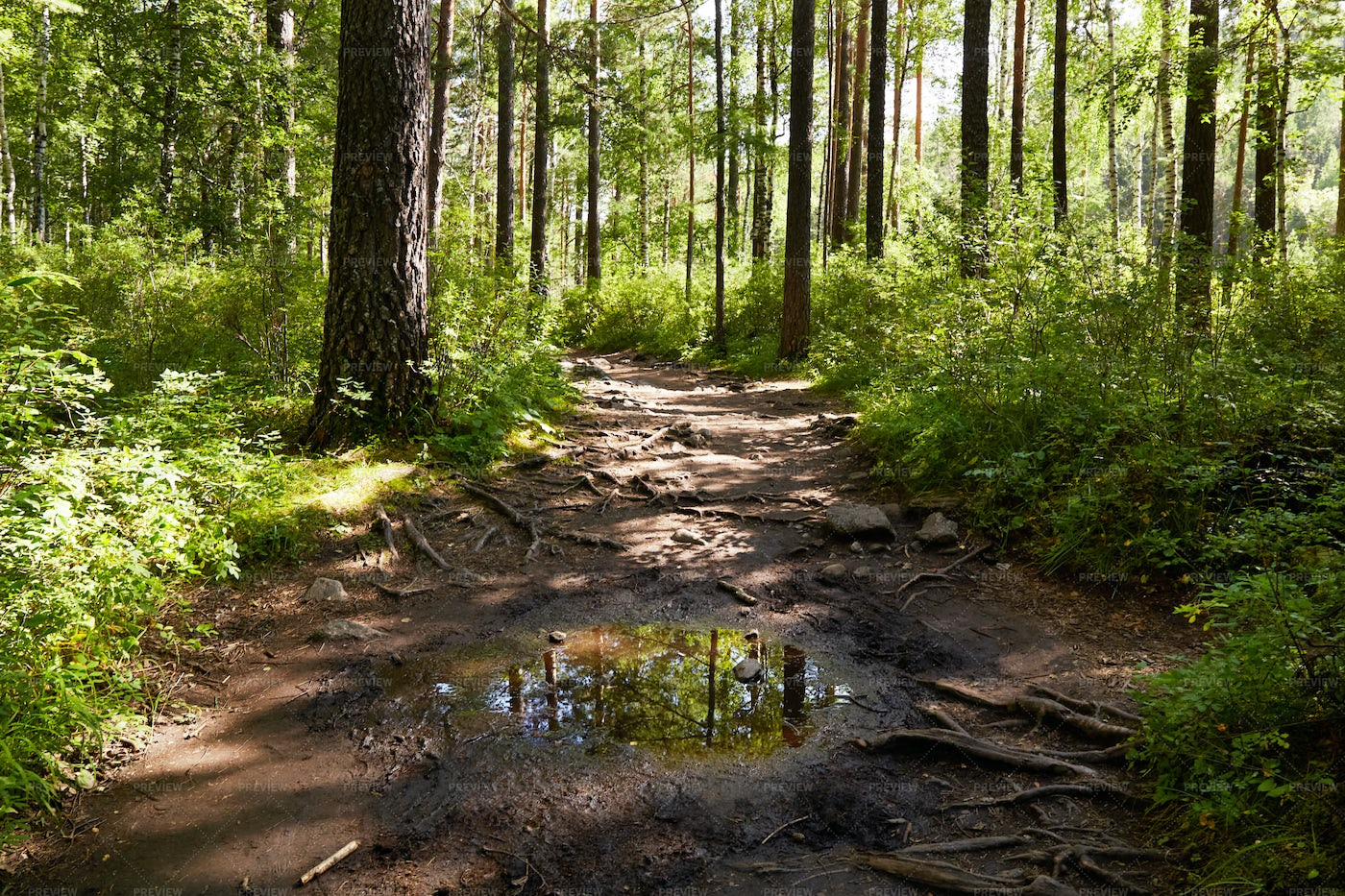 Puddle In The Forest: Stock Photos