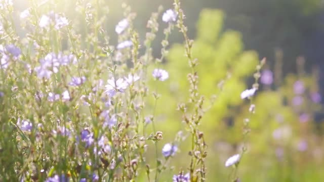 Beautiful Velvet Flowers In Summer: Stock Video