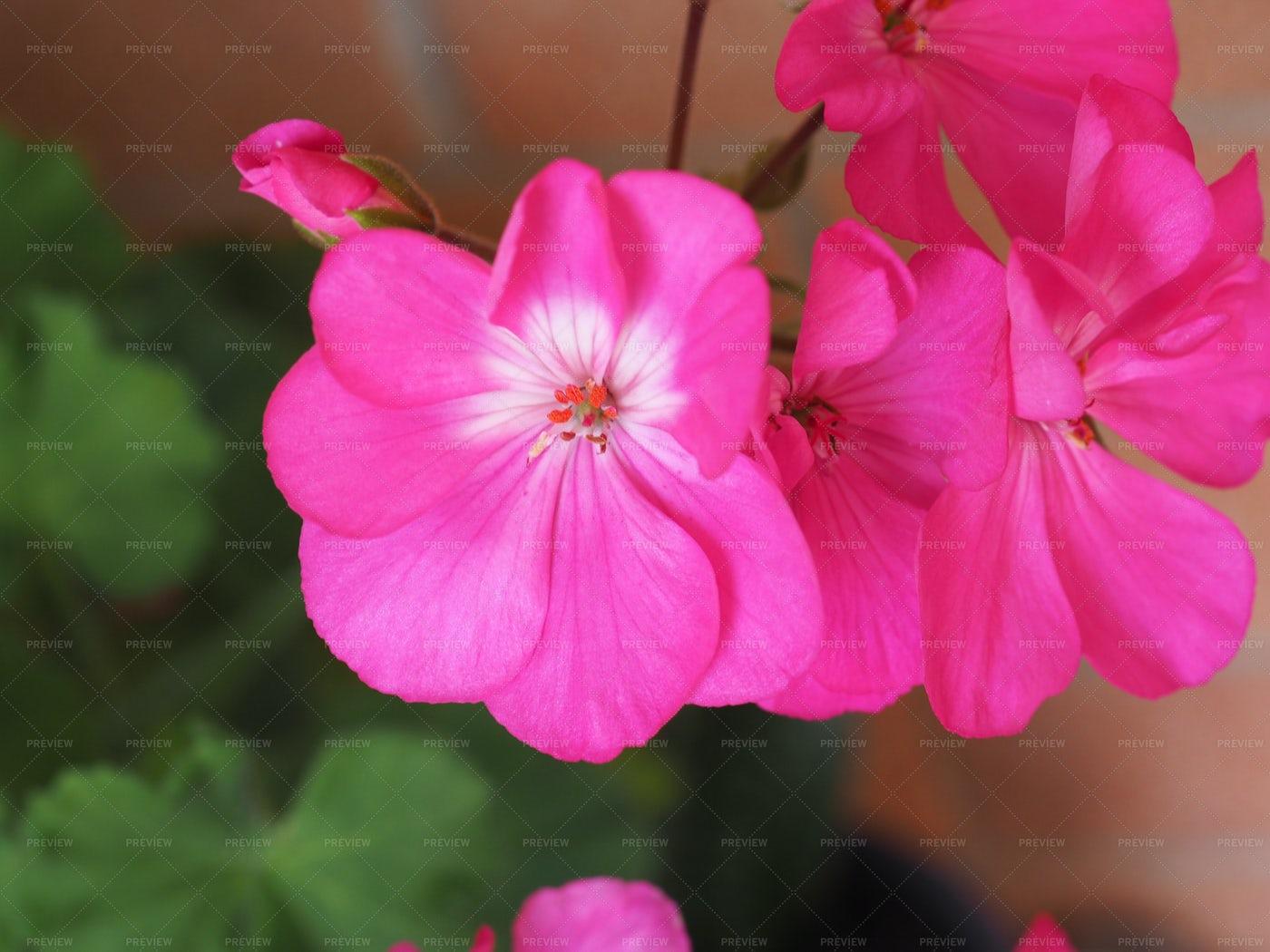 Pink Geranium: Stock Photos