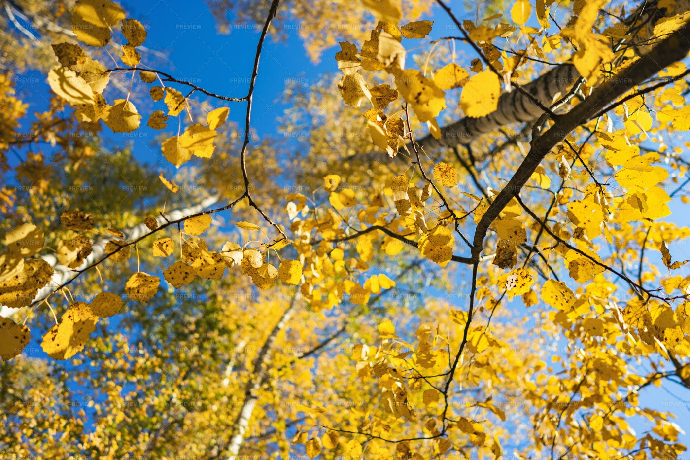 Autumnal Leaves On Trees: Stock Photos