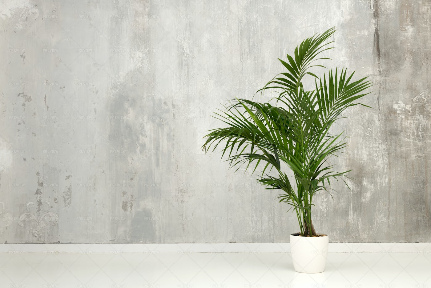 Leafy Green Potted Kentia Palm: Stock Photos