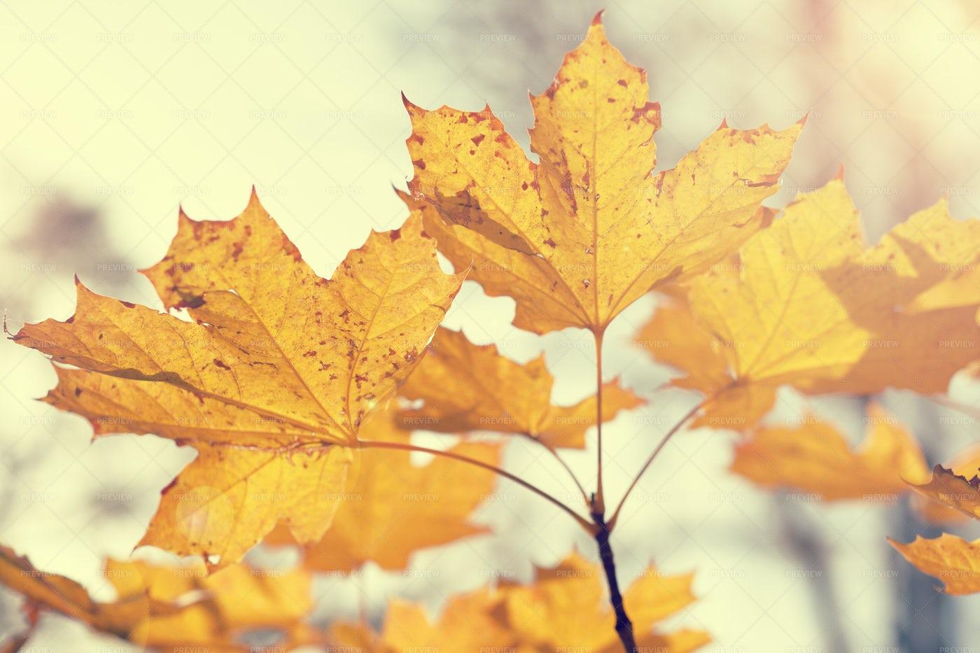 Autumn Maple Leaves: Stock Photos