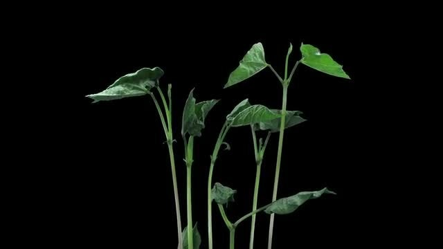 Time Lapse Of Bean Plants: Stock Video
