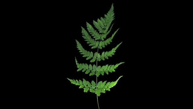 Green Fern Leaves Drying : Stock Video