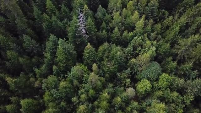 Pine Forest Aerial Top View : Stock Video