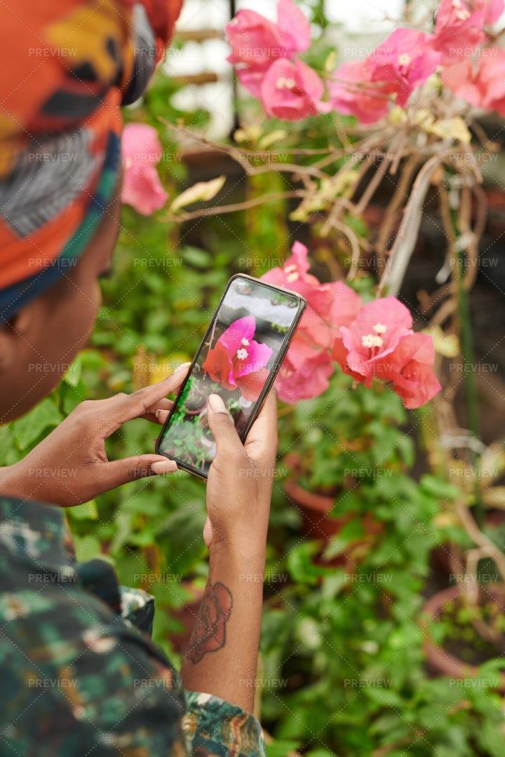 Woman Taking Photo Of Flower: Stock Photos