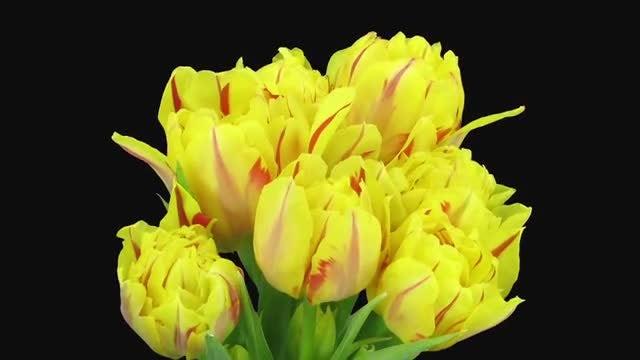 Beautiful Yellow-Red Tulips Opening : Stock Video