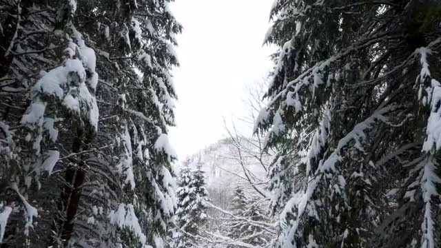 Walking Through Pine Trees In Winter: Stock Video