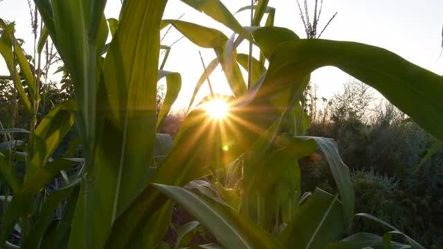 Close-up Shot Of Corn Field: Stock Video