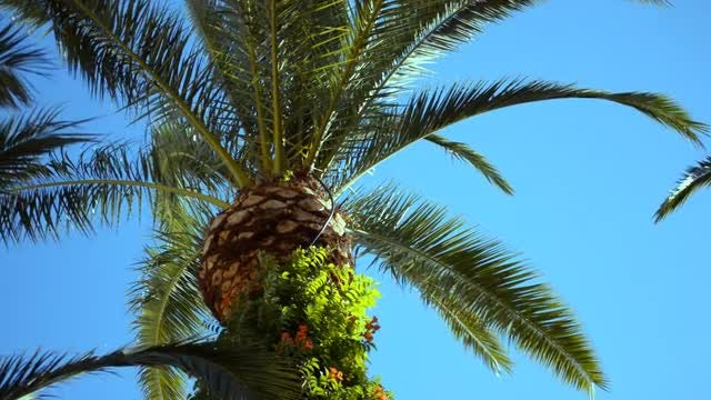 Palm Tree And Cloudless Sky: Stock Video