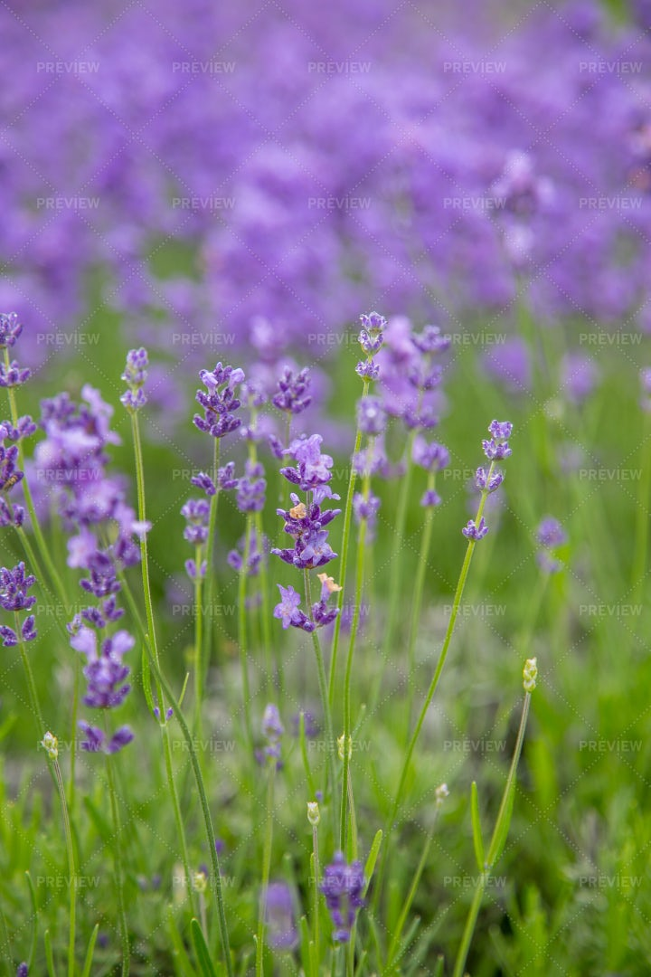 Blooming Lavender: Stock Photos