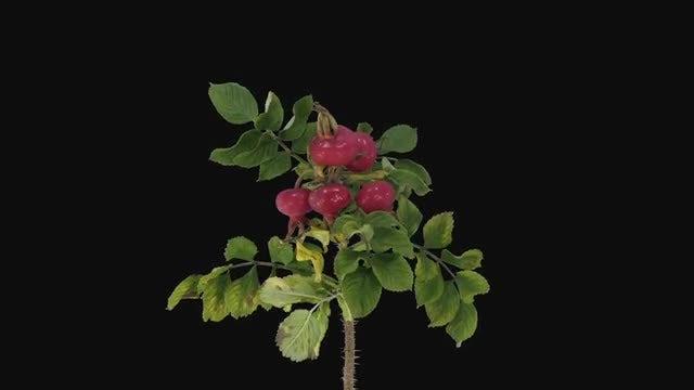 Rosa Rubiginosa Plant Dying: Stock Video