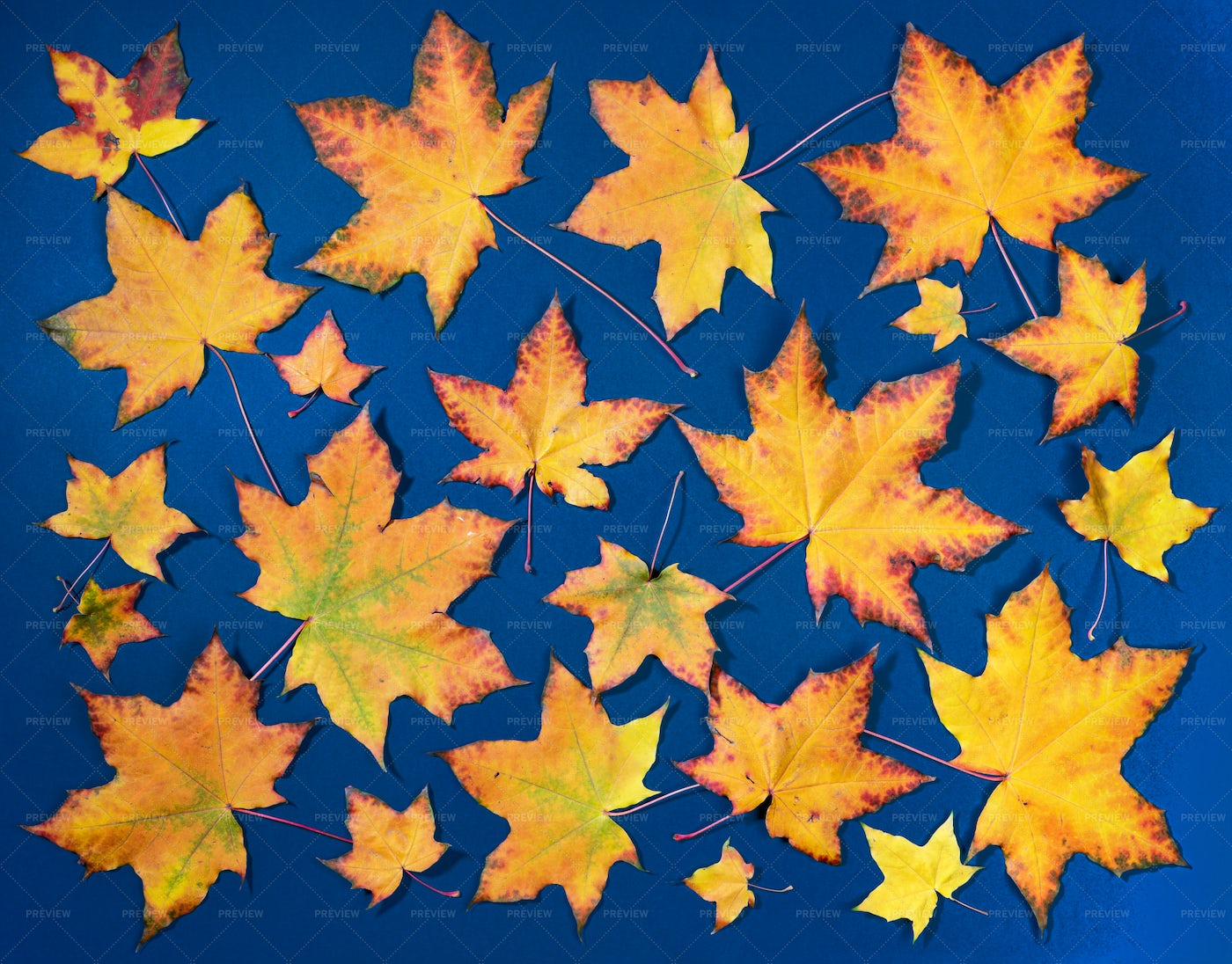 Colorful Maple Leaves: Stock Photos