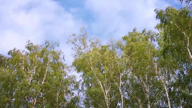 Low-angle Shot Of Eucalyptus Trees: Stock Video