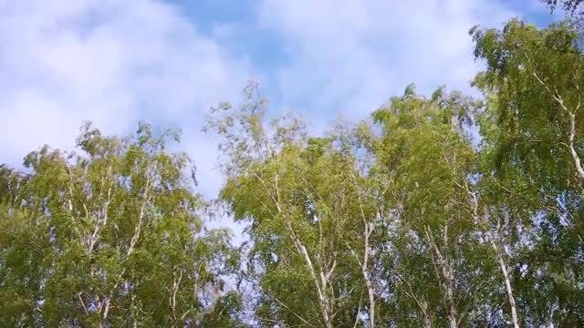 Low-angle Shot Of Eucalyptus Trees: Stock Video