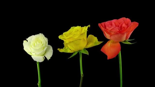 Three Yellow Roses Drying: Stock Video