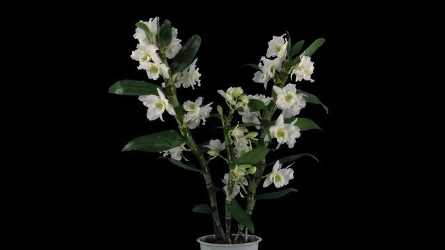 Potted Orchid Dendrobium Opens : Stock Video