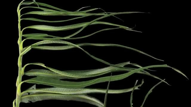 Willow Branch Leaves Drying: Stock Video