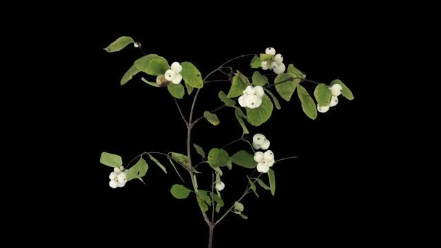 Snowberry Branch Leaves Drying: Stock Video