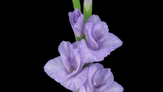 Purple Gladiolus Flowers Opening: Stock Video