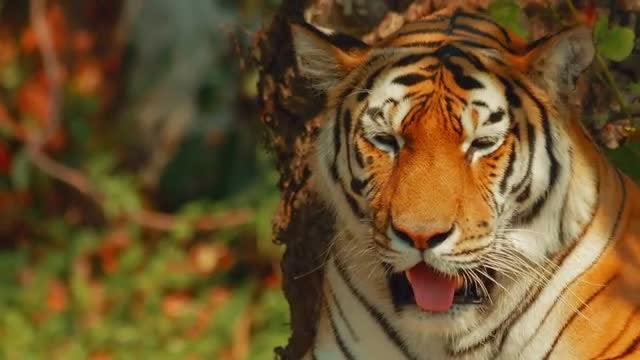 Siberian Tiger Facing The Camera: Stock Video
