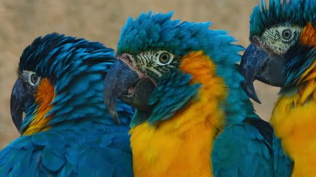 Three Cute Blue-throated Macaws Playing: Stock Video