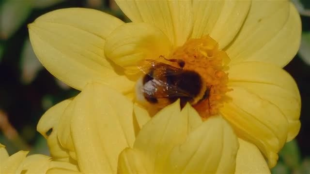 Honey Bee On Yellow Flower: Stock Video