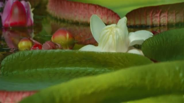 Closeup Of Water Lilies: Stock Video