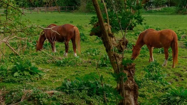 Two Brown Horses Grazing: Stock Video