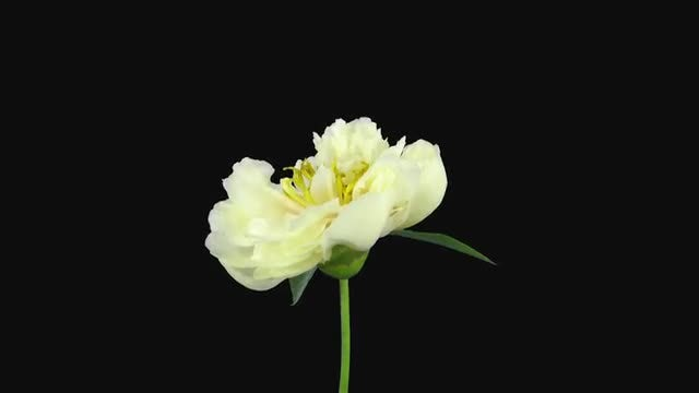 Dying Peony Reverse Time Lapse: Stock Video