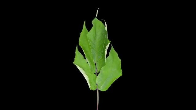 Drying Leaves On A Stem: Stock Video