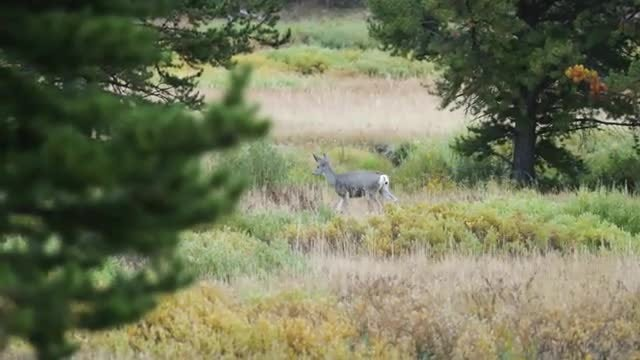 Deer Strolling In The Wild: Stock Video