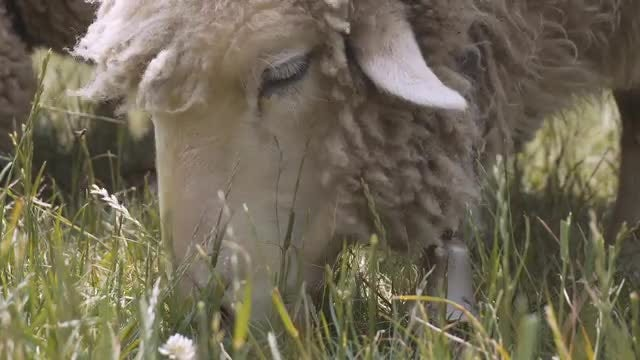 Sheep With Bell Eats Grass: Stock Video