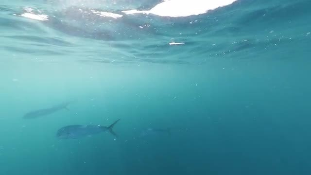 Mahi-mahi Fish In The Ocean: Stock Video