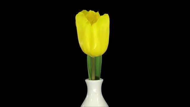 Growing Yellow Tulip In Vase: Stock Video